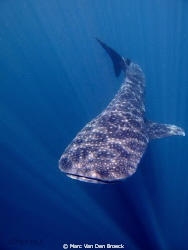 whaleshark by Marc Van Den Broeck 